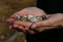 Conchas marinas en las palmas de la muchacha Foto de archivo