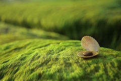 Conchas marinas en roca cubierta de musgo verde Fotos de archivo libres de regalías