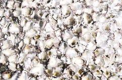 Conchas marinas en una piedra Foto de archivo libre de regalías