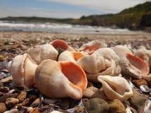 Conchas marinas hermosas de la costa de mar Rapa Fotografía de archivo