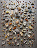 Conches and Shells. Large group of conches and shells over a muted wooden background Royalty Free Stock Image