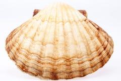Conchiglia del mollusco isolata su fondo bianco Fotografie Stock