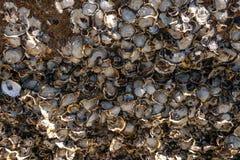 Conchiglia di ostrica attaccata sul fondo delle rocce fotografia stock