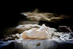 Conchiglia di strombo al grandi Turco, Turchi e Caicos Fotografia Stock Libera da Diritti