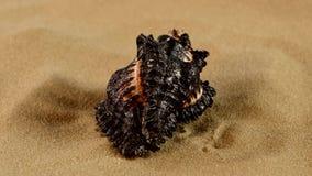 Conchiglia marina nera insolita sulla sabbia, rotazione stock footage