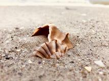 Conchiglia sulla spiaggia dell'oceano Immagine Stock