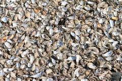 Conchiglie di ostrica Fotografie Stock Libere da Diritti