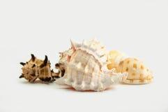 Conchiglie di ostrica Fotografia Stock Libera da Diritti