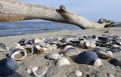 Conchiglie e legno sulla spiaggia Obrazy Royalty Free