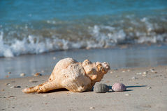 Conchiglie gettate dal mare sulla riva, golfo del Messico, U.S.A. Fotografie Stock