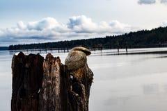 Conchiglie su un pezzo di legname galleggiante in una spiaggia del porto immagini stock libere da diritti