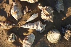Conchiglie sulla sabbia Immagine Stock