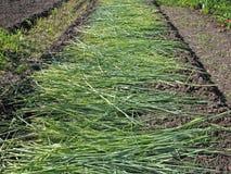 Concime verde Immagini Stock