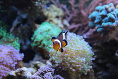 Conclusion de Nemo dans l'aquarium Photo stock