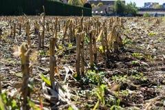 Conclusione asciutta del campo di agricoltura di estate troppo calda nessuna pioggia Fotografie Stock Libere da Diritti