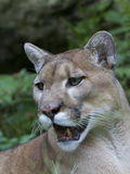 concolor佛罗里达豹美洲狮 库存图片