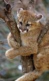 concolor被困住的美洲狮猫属 库存图片