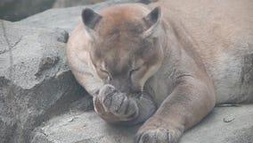 Concolor del puma del catamount o del puma che governa il suo piede che si trova vicino al grande fondo pietroso archivi video