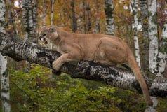 Concolor del puma del puma del maschio adulto di ringhio Fotografia Stock Libera da Diritti