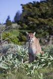 Concolor do puma do leão de montanha Foto de Stock