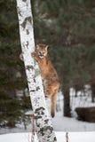 Concolor femminile del puma del puma sul tronco di albero Fotografia Stock Libera da Diritti