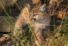 Concolor femminile di Kitten Puma del puma in erba Immagine Stock