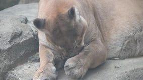 Concolor peligroso grande del puma del puma que prepara su pie metrajes