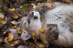 Concolor Puma Cougar που κυλά με το φθινόπωρο φύλλων στοκ φωτογραφία με δικαίωμα ελεύθερης χρήσης