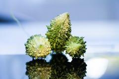 Concombre aigre de Charantia de Momordica Photos stock
