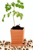 Concombre-chinois amer, Moringa (fuite de moringa oleifera ), arbre et graines Image stock