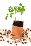 Concombre-chinois amer, Moringa (fuite de moringa oleifera ), arbre et graines Photo libre de droits