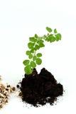 Concombre-chinois amer, Moringa (fuite de moringa oleifera ), arbre et graines Photographie stock