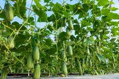 Concombre dans le jardin Photo libre de droits