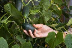 Concombre de cueillette de main de femmes dans le jardin Photographie stock