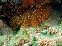 Concombre de mer Photographie stock libre de droits