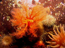 Concombre de mer Image libre de droits
