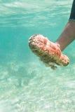 Concombre de mer Photo libre de droits