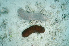 Concombre de mer de léopard d'espèce marine Bohadschia Argus Image stock
