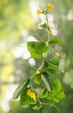 Concombre de vigne avec les fruits juteux Photographie stock