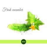 Concombre frais d'aquarelle de vecteur avec des feuilles et Photographie stock libre de droits
