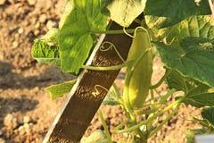 Concombre jaune Image libre de droits