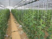 Concombre plantant la base en serre chaude Photo libre de droits