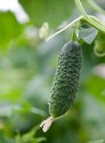 Concombre frais sur le buisson photographie stock libre de droits