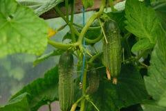 Concombre vert organique frais et x28 ; Sativus& x29 de Cucumis ; culture en serre chaude Images stock