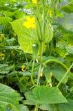 concombres Photo libre de droits