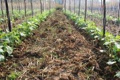 Concombres de jardin. Image stock