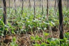 Concombres de jardin. Photos stock