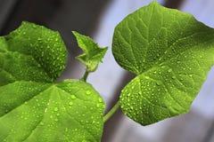 Concombres de jeunes plantes L'élevage pousse à la maison Photographie stock libre de droits