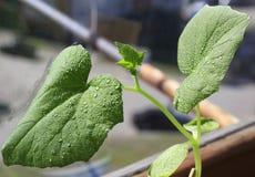 Concombres de jeunes plantes L'élevage pousse à la maison Images libres de droits