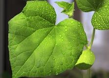 Concombres de jeunes plantes L'élevage pousse à la maison Photo libre de droits
